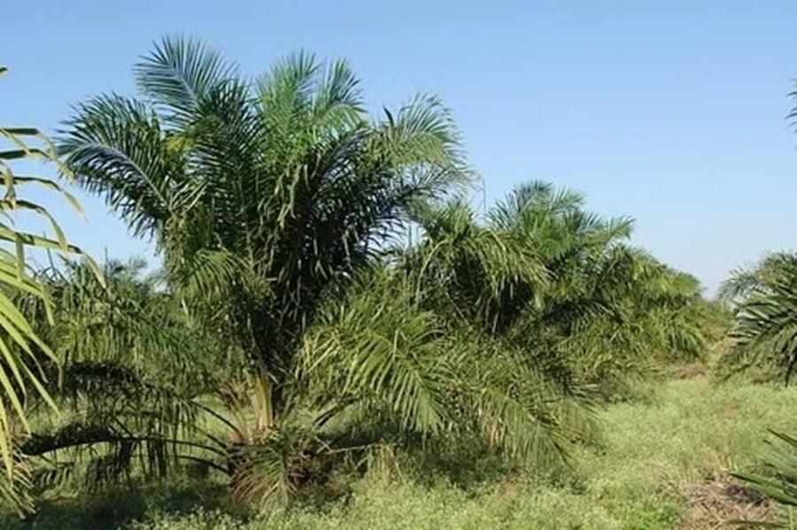 パーム油がとれるアブラヤシ