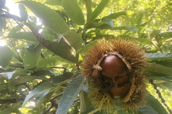 熟した栗の実を収穫