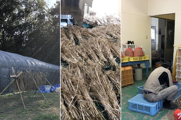 大麦の枝ごと収穫・天日干し・手作業で脱穀