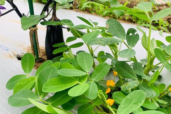 茄子と落花生…コンパニオンプランツ