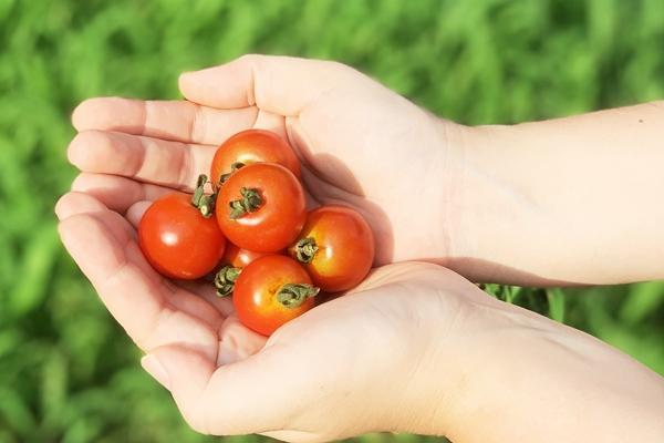 農薬不使用・化学肥料不使用のトマト