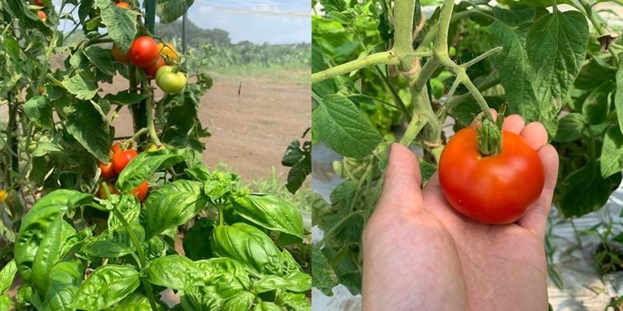 コンパニオンプランツ・トマトとバジルは相性バッチリ