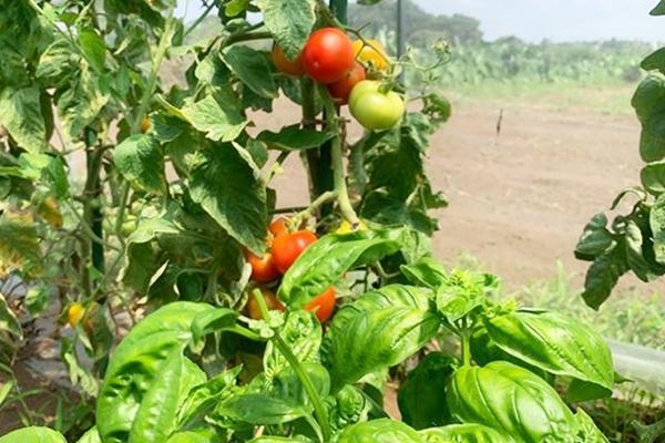 トマトとバジルは相性バッチリ