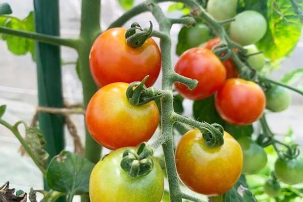 幻のトマト?!ワーンミニトマト