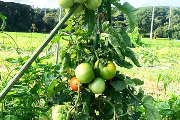 自生のトマトを固定種に?自生大玉トマト